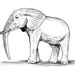Elefant 18