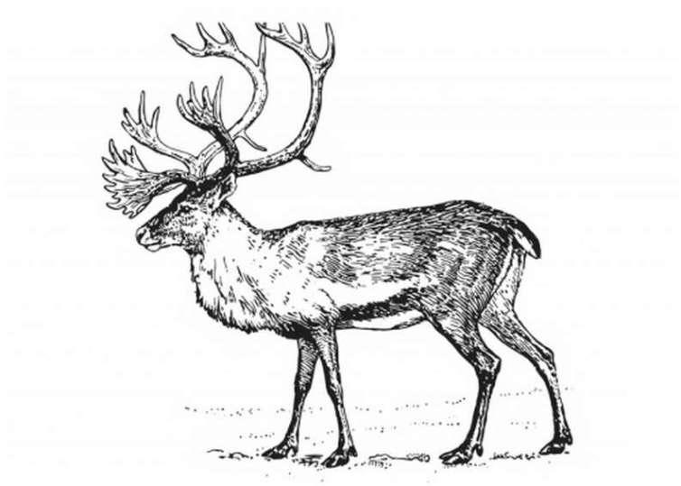 Hirsch 21