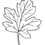 Ahornblatt 13