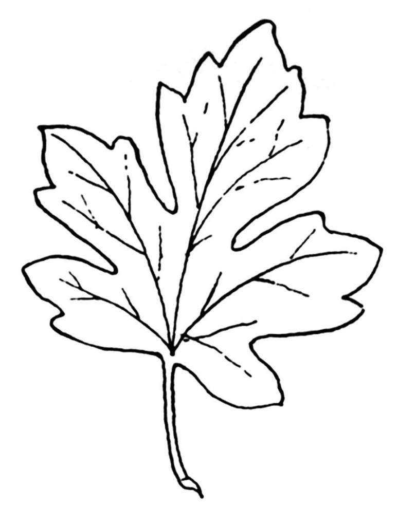 malvorlage ahornblatt