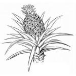 Ananas 8