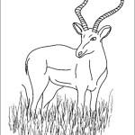 Antilope 5