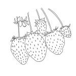 Erdbeere 19