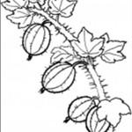 Fruchte Obst und Beere 4