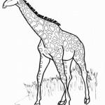 Giraffe 12