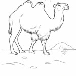 Kamel 7