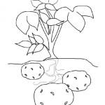 Kartoffel 5