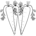 Mohrrube 11